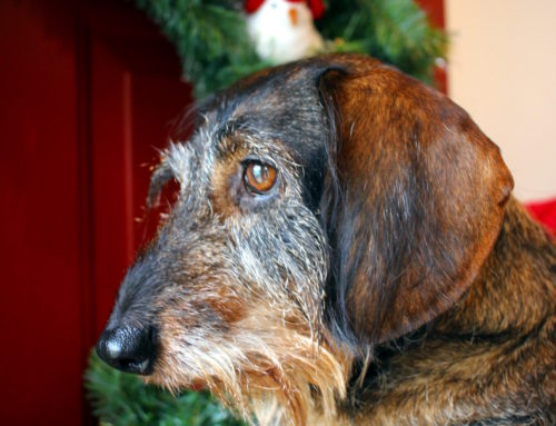 Holiday Pet Advice from your Milwaukee Dog Walkers and Pet Sitters