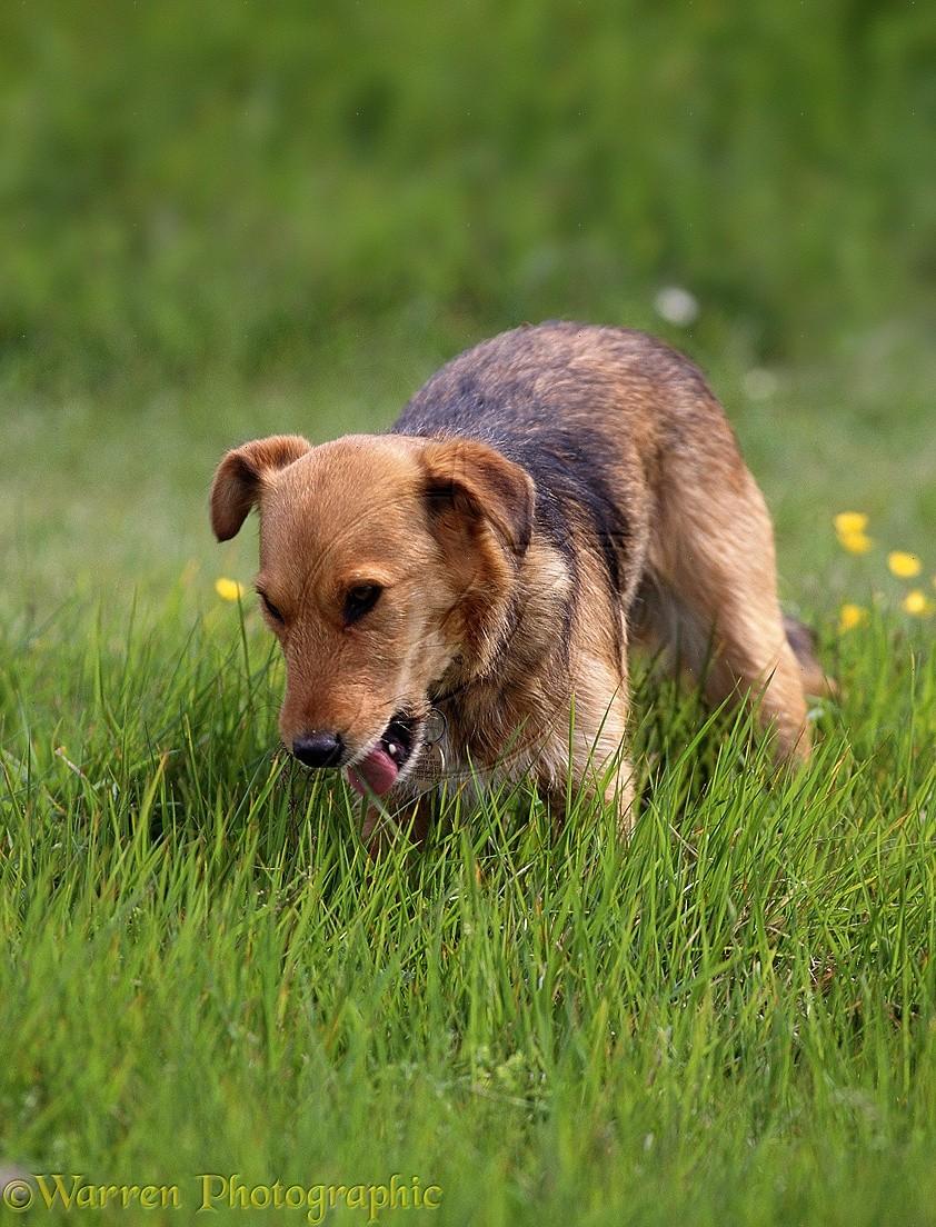 dog eating grass - 800×707