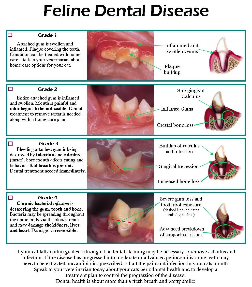 Dental Disease Chart Feline2